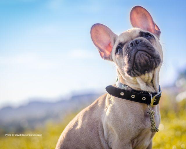 bulldog-640x514.jpg